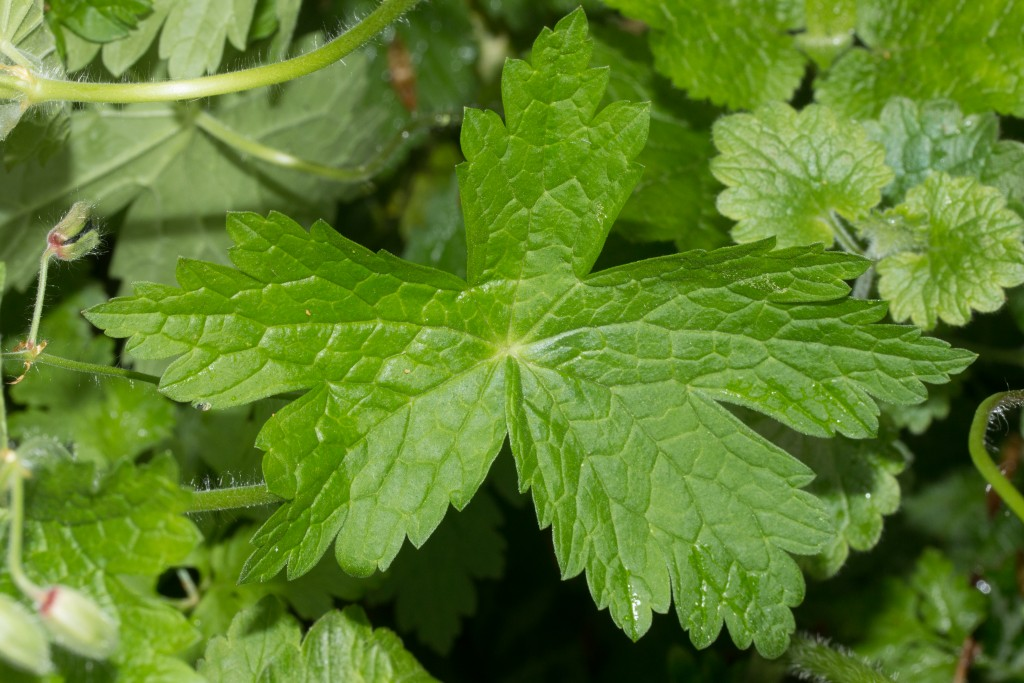 Geranium phaeum-7